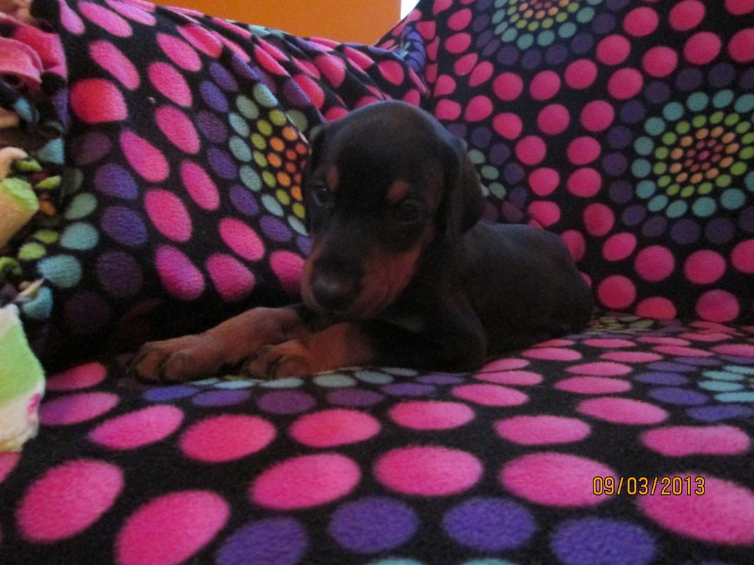 Maroon Female Sadie A K C Doberman Puppies For Sale Hawthorne Fl