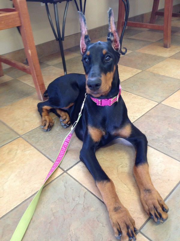 Pink Female: Katie Scarlett - A K C  Doberman Puppies For